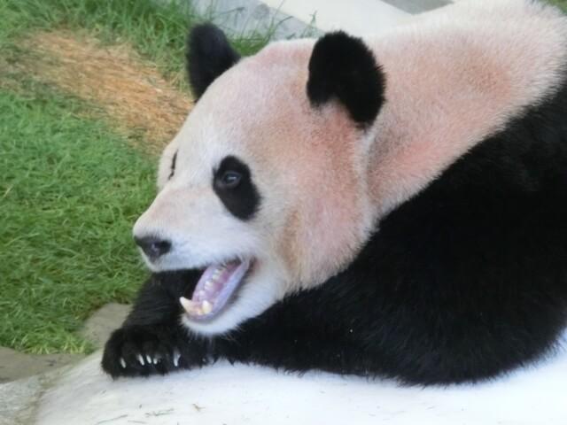 白浜アドベンチャーワールドはパンダで有名